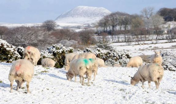 A flock of sheep grazing in the snow on the hills outside Doagh, County Antrim.