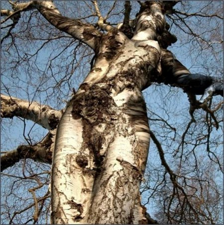 Celtic Month Of The Birch Dec 24 Jan 20 Magick Millenial