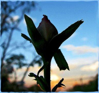 Rosebud_Sunset_by_wonenownlee